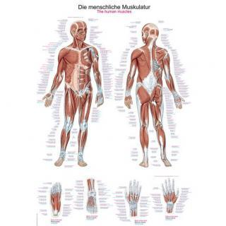 Anatomie posters